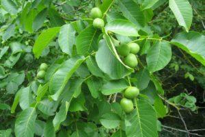 How To Grow A Walnut Tree