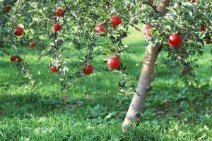 Read more about the article How To Grow An Apple Tree