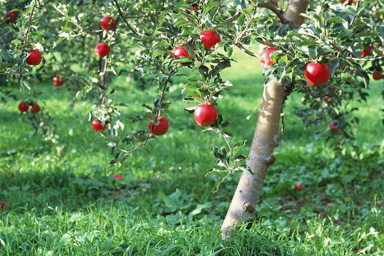 You are currently viewing How To Grow An Apple Tree