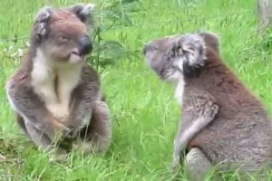 Koalas Are The Cutest, Even When They Are Fighting