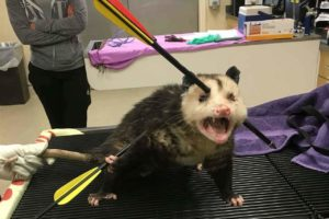 Read more about the article Opossum Survived After Being Shot By 2 Arrows