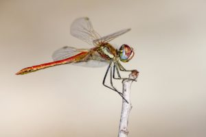 Read more about the article The 15 Most Beautiful Dragonfly Species In The World